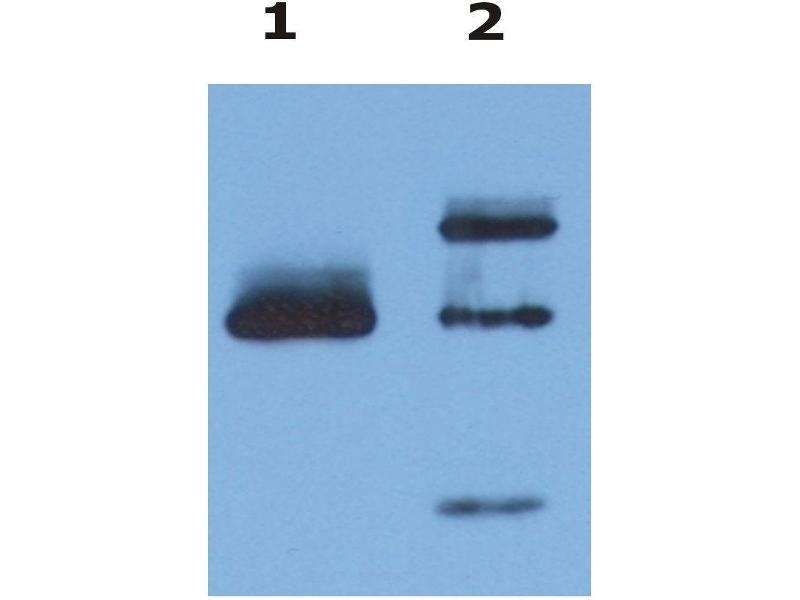 Image no. 3 for anti-HLA Class I Histocompatibility Antigen, alpha Chain G (HLAG) antibody (FITC) (ABIN94372)