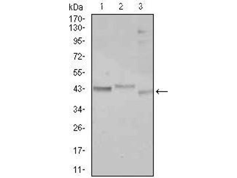 Western Blotting (WB) image for anti-CCAAT/enhancer Binding Protein (C/EBP), alpha (CEBPA) antibody (ABIN969048)
