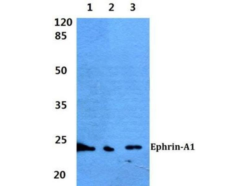 Western Blotting (WB) image for anti-Ephrin A1 (EFNA1) antibody (ABIN447488)