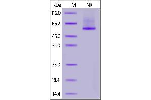 Image no. 2 for Glypican 2 (GPC2) (AA 24-552) (Active) protein (His tag) (ABIN6952277)