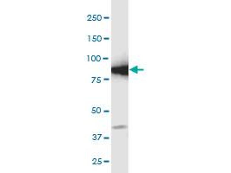 Image no. 7 for anti-Glutamate-Cysteine Ligase, Catalytic Subunit (GCLC) (AA 528-637) antibody (ABIN561050)