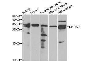 Image no. 4 for anti-Dehydrogenase/reductase (SDR Family) Member 9 (DHRS9) antibody (ABIN6570358)