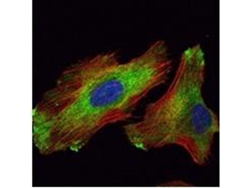 Immunofluorescence (IF) image for anti-WIF1 antibody (WNT Inhibitory Factor 1) (ABIN1109510)