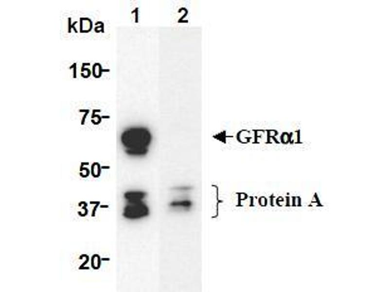 Western Blotting (WB) image for anti-Glial Cell Line Derived Neurotrophic Factor Family Receptor alpha 1 (GFRA1) (AA 24-440), (Extracellular Domain) antibody (ABIN1449286)