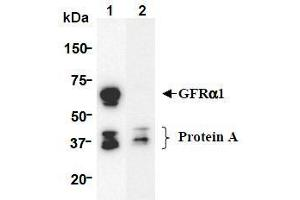 Western Blotting (WB) image for anti-GDNF Family Receptor alpha 1 (GFRA1) (AA 24-440), (Extracellular Domain) antibody (ABIN1449286)