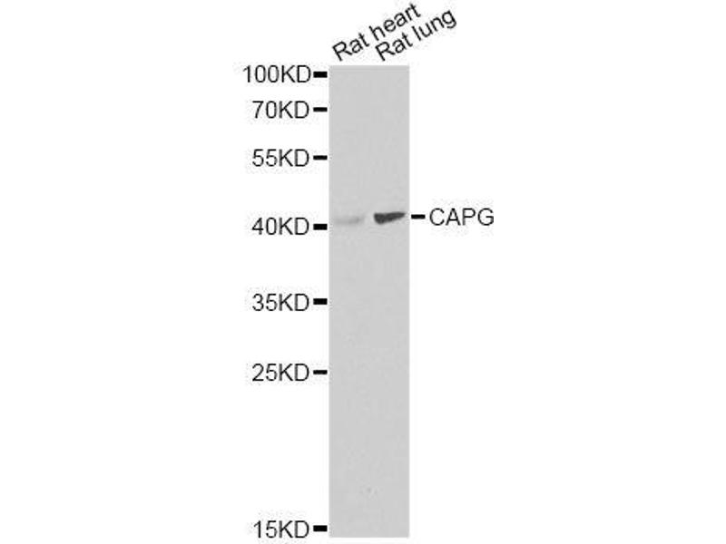 Western Blotting (WB) image for anti-Capping Protein (Actin Filament), Gelsolin-Like (CAPG) antibody (ABIN6137908)