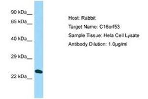 Image no. 1 for anti-PAXIP1 Associated Glutamate-Rich Protein 1 (PAGR1) (AA 38-87) antibody (ABIN6750163)