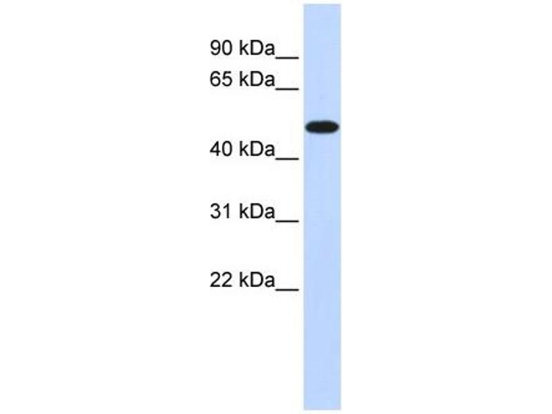 Western Blotting (WB) image for anti-Pyruvate Dehydrogenase Kinase, Isozyme 2 (PDK2) (Middle Region) antibody (ABIN2777433)