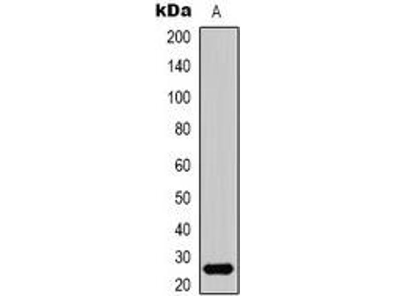 Western Blotting (WB) image for anti-HMGB1 antibody (High-Mobility Group Box 1) (N-Term) (ABIN2957616)
