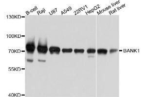 Image no. 1 for anti-B-Cell Scaffold Protein with Ankyrin Repeats 1 (BANK1) antibody (ABIN6566868)