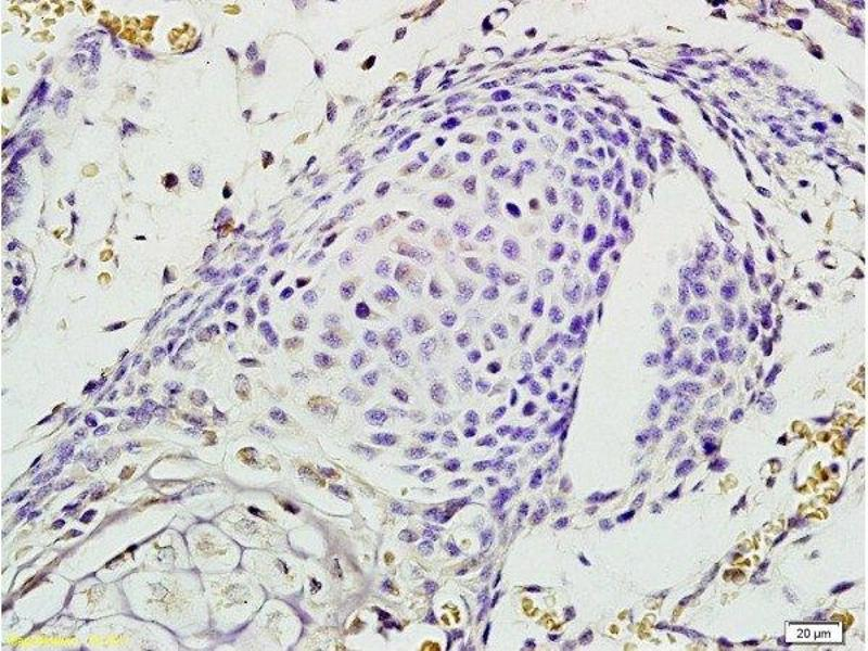 Immunohistochemistry (Paraffin-embedded Sections) (IHC (p)) image for anti-EPH Receptor A7 (EPHA7) (AA 203-253) antibody (ABIN722005)
