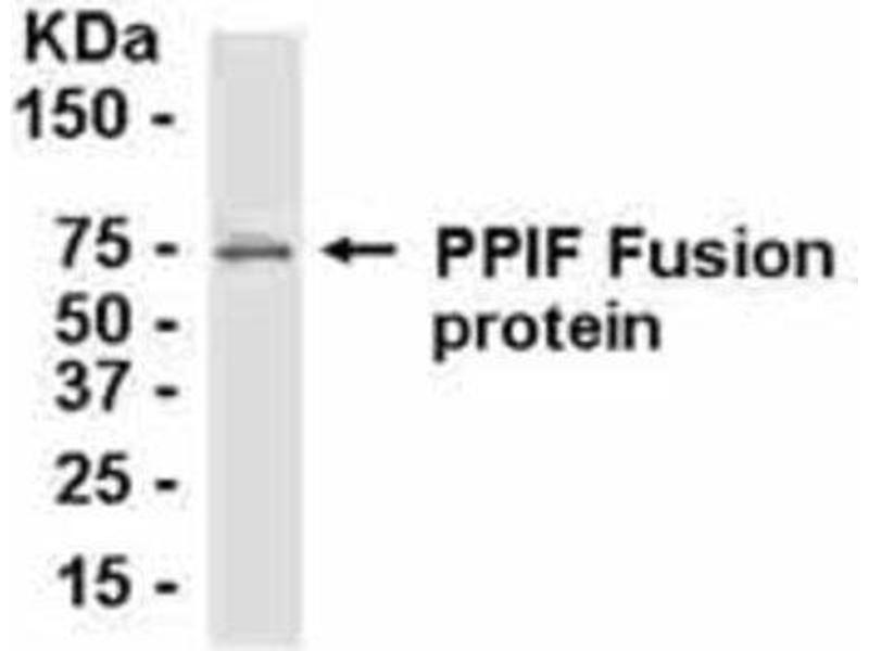 Western Blotting (WB) image for anti-Peptidylprolyl Isomerase F (PPIF) antibody (ABIN4265974)
