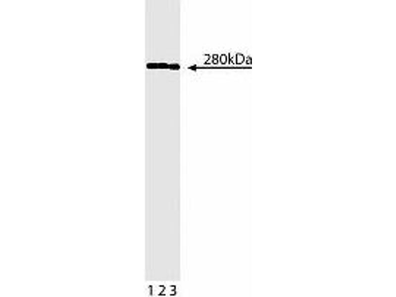 Western Blotting (WB) image for anti-Spectrin Beta, Non-Erythrocytic 1 (SPTBN1) (AA 2101-2189) antibody (ABIN968882)