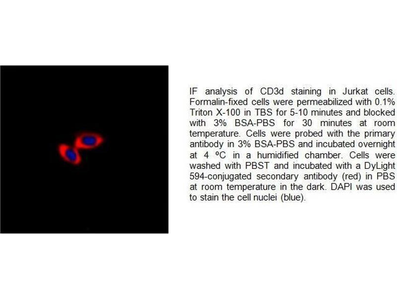 Immunofluorescence (IF) image for anti-CD3d Molecule, delta (CD3-TCR Complex) (CD3D) (Center) antibody (ABIN2487039)