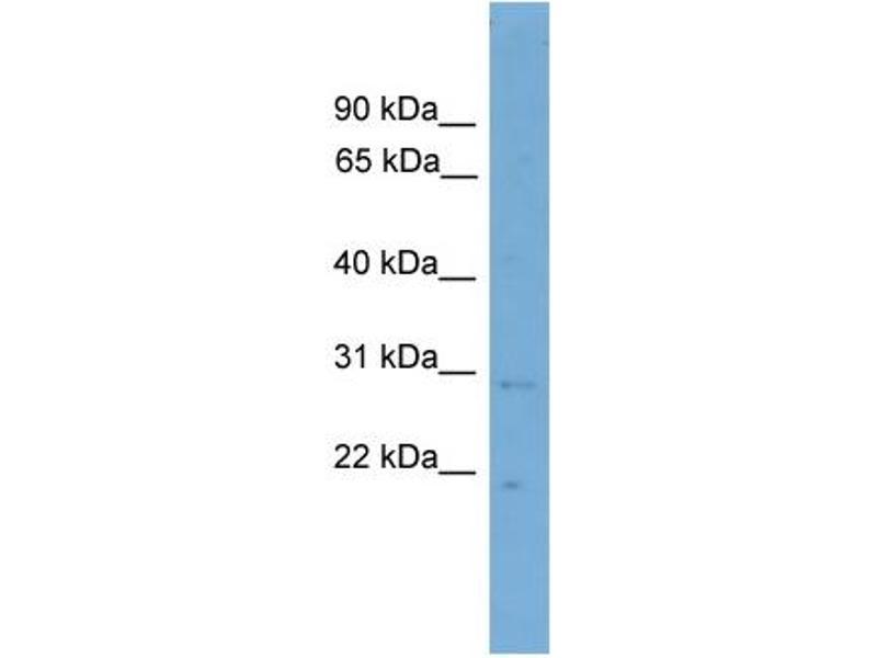 Western Blotting (WB) image for anti-Canopy 3 Homolog (Zebrafish) (CNPY3) (N-Term) antibody (ABIN2787471)