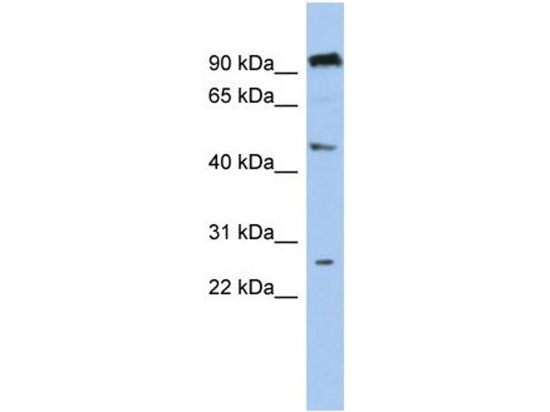 Western Blotting (WB) image for anti-Chromosome 1 Open Reading Frame 174 (C1orf174) (Middle Region) antibody (ABIN503824)