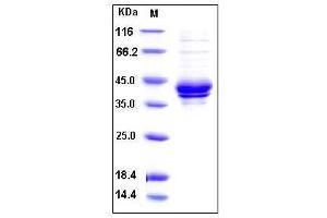Image no. 1 for Chemokine (C-C Motif) Ligand 1 (CCL1) (AA 24-96), (Mature) protein (Fc Tag) (ABIN2001987)