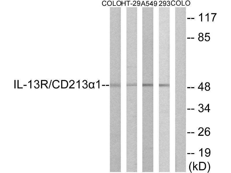 Western Blotting (WB) image for anti-IL13 Receptor alpha 1 antibody (Interleukin 13 Receptor, alpha 1) (Tyr405) (ABIN2490707)
