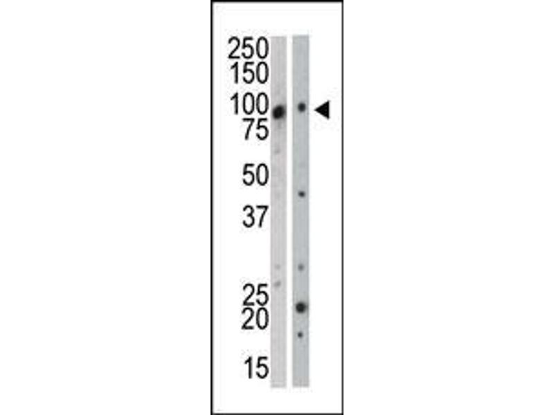 Western Blotting (WB) image for anti-Mitogen-Activated Protein Kinase Kinase Kinase 12 (MAP3K12) (AA 828-859), (C-Term) antibody (ABIN391319)