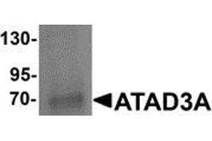 Image no. 1 for anti-ATPase Family, AAA Domain Containing 3A (ATAD3A) (N-Term) antibody (ABIN783500)