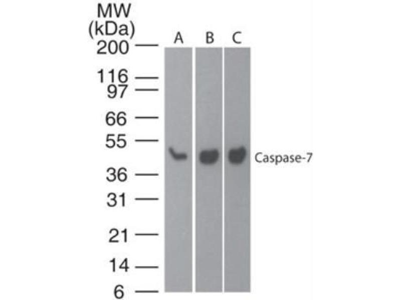 Western Blotting (WB) image for anti-Caspase 7 antibody (Caspase 7, Apoptosis-Related Cysteine Peptidase) (ABIN252490)