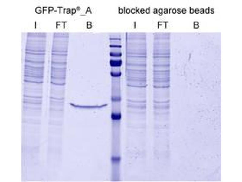 Immunoprecipitation (IP) image for Blocked agarose beads (ABIN1082210)