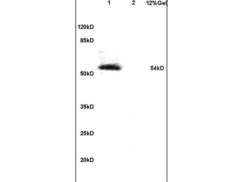 SDS-PAGE (SDS) image for anti-Interferon Regulatory Factor 7 (IRF7) (AA 450-490), (pSer471), (pSer472) antibody (ABIN742703)
