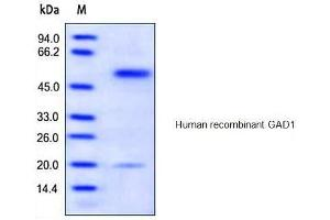 Image no. 1 for Glutamate Decarboxylase 1 (Brain, 67kDa) (GAD1) protein (His tag) (ABIN1888660)