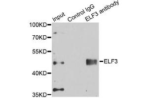 Image no. 2 for anti-E74-Like Factor 3 (Ets Domain Transcription Factor, Epithelial-Specific) (ELF3) antibody (ABIN6567999)