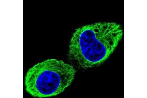 Immunofluorescence (IF) image for anti-TUBB2B antibody (Tubulin, beta 2B) (AA 19-47) (ABIN955391)