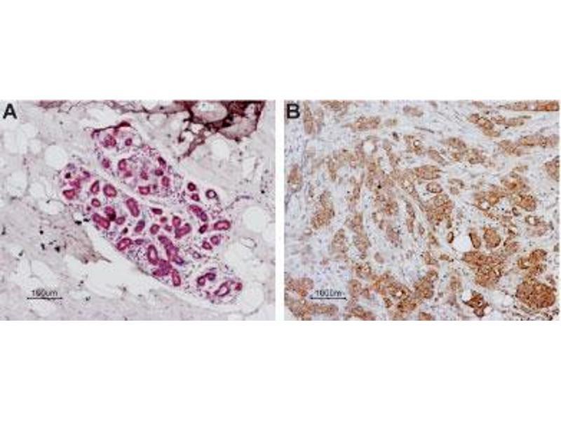 Immunohistochemistry (IHC) image for anti-Coagulation Factor II (thrombin) Receptor (F2R) (AA 61-76), (Extracellular Loop), (N-Term) antibody (ABIN1742019)