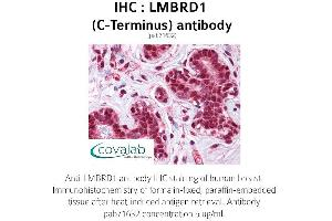 Image no. 2 for anti-LMBR1 Domain Containing 1 (LMBRD1) (C-Term) antibody (ABIN1736463)