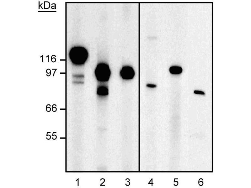 Western Blotting (WB) image for anti-Minichromosome Maintenance Deficient 4 (MCM4) (AA 21-40) antibody (ABIN967643)