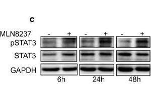 Image no. 8 for anti-Signal Transducer and Activator of Transcription 3 (Acute-Phase Response Factor) (STAT3) (C-Term) antibody (ABIN2855865)