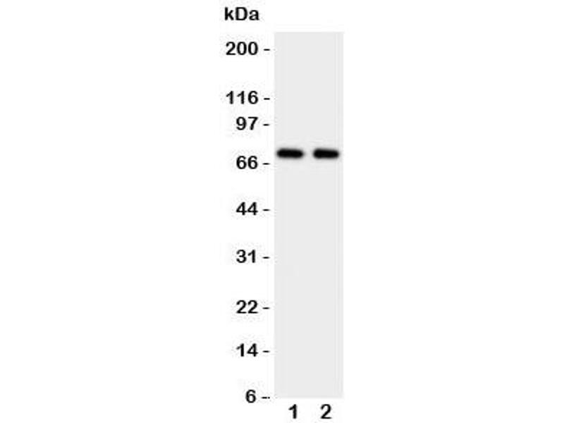 Western Blotting (WB) image for anti-Prolactin Receptor (PRLR) (C-Term) antibody (ABIN3032320)