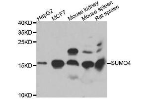 Image no. 1 for anti-SMT3 Suppressor of Mif Two 3 Homolog 4 (S. Cerevisiae) (SUMO4) antibody (ABIN6148731)