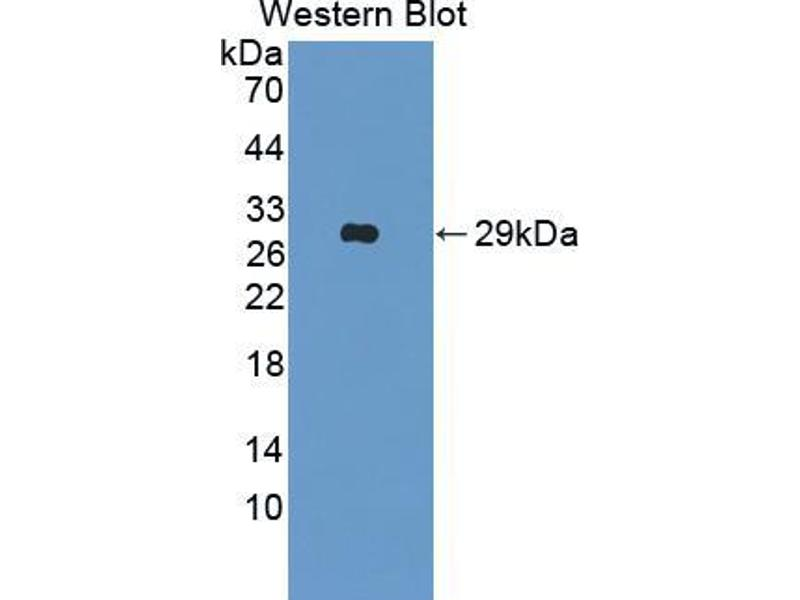 Western Blotting (WB) image for anti-MFNG (MFNG) (AA 73-310) antibody (ABIN2909666)