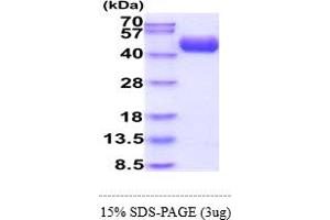 Image no. 1 for Complement Decay-Accelerating Factor (CD55) (AA 35-353) protein (His tag) (ABIN5855076)