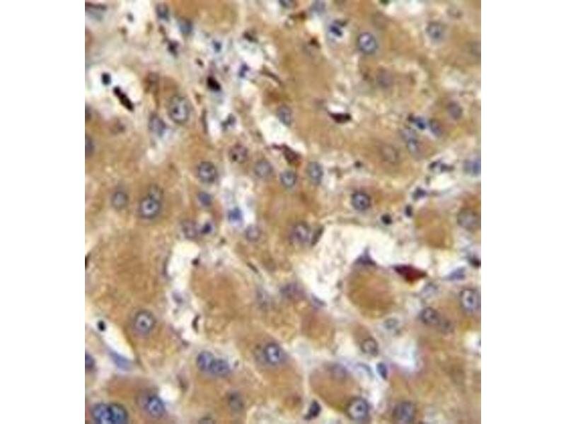 Immunohistochemistry (Paraffin-embedded Sections) (IHC (p)) image for anti-Haptoglobin Related Protein (HPR) (AA 219-247), (Middle Region) antibody (ABIN952789)