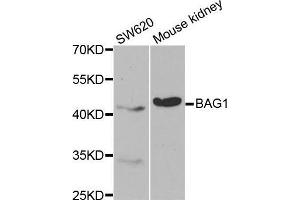 Image no. 2 for anti-BCL2-Associated Athanogene (BAG1) antibody (ABIN3021445)