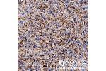Immunohistochemistry (Paraffin-embedded Sections) (IHC (p)) image for anti-APOE antibody (Apolipoprotein E) (ABIN258785)