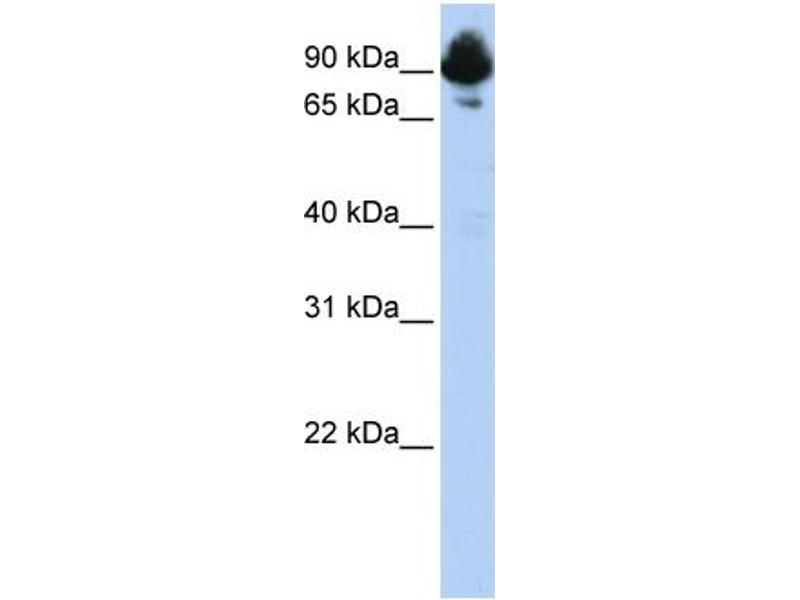 Western Blotting (WB) image for anti-Regulator of G-Protein Signaling 3 (RGS3) (C-Term) antibody (ABIN2792209)
