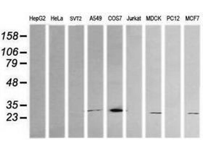 image for anti-Kallikrein 8 antibody (KLK8) (ABIN1498964)