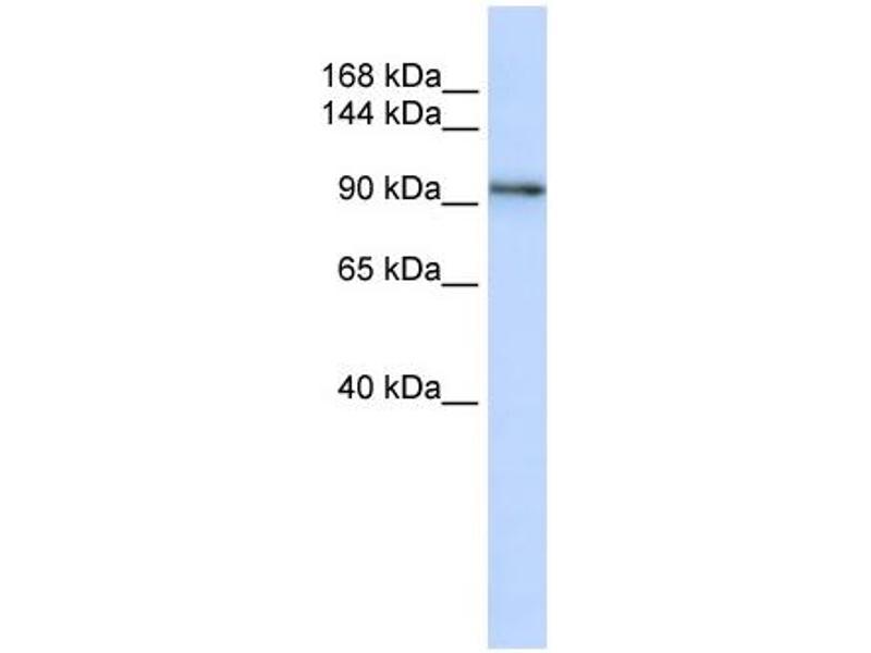 Western Blotting (WB) image for anti-Protocadherin 1 (PCDH1) (N-Term) antibody (ABIN502613)