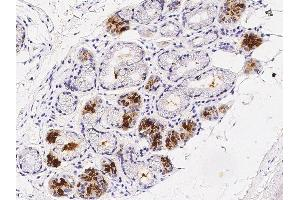 Image no. 2 for anti-Prolactin-Induced Protein (PIP) (N-Term) antibody (ABIN2682484)