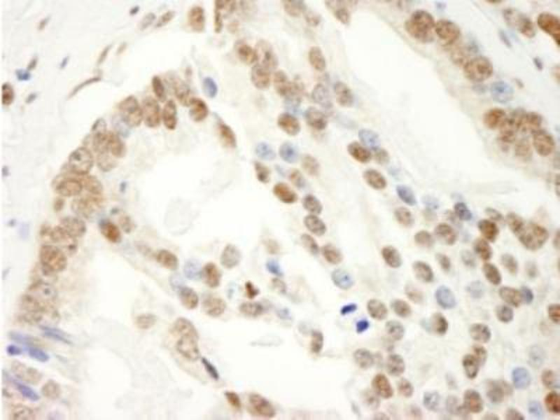 Immunohistochemistry (Paraffin-embedded Sections) (IHC (p)) image for anti-KHDRBS1 antibody (KH Domain Containing, RNA Binding, Signal Transduction Associated 1) (AA 1-50) (ABIN4351941)