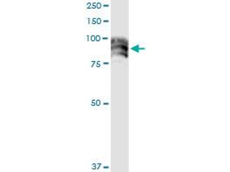 Immunoprecipitation (IP) image for anti-Dipeptidyl-Peptidase 4 (DPP4) (AA 1-766), (full length) antibody (ABIN947801)
