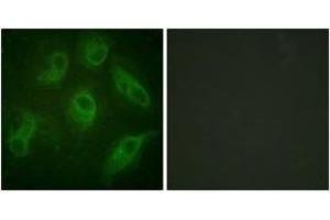 Immunofluorescence (IF) image for anti-MAP4 antibody (Microtubule-Associated Protein 4) (ABIN1532711)