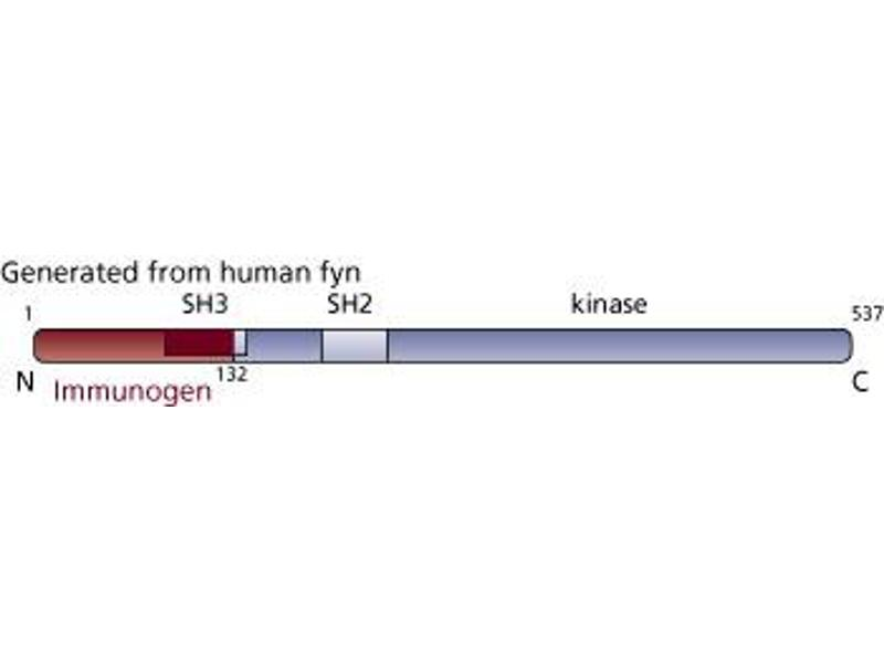 image for anti-FYN antibody (FYN Oncogene Related To SRC, FGR, YES) (AA 1-132) (ABIN967789)