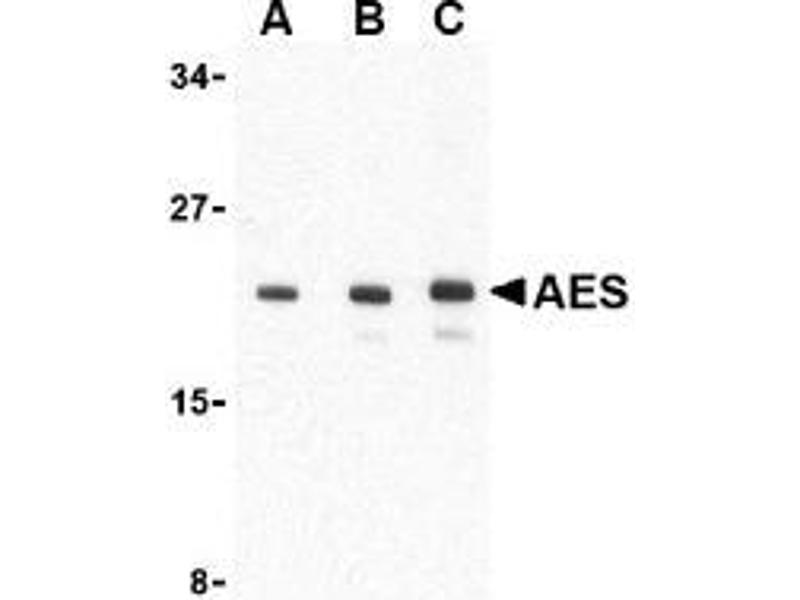 Western Blotting (WB) image for anti-AES antibody (Amino-terminal Enhancer of Split) (N-Term) (ABIN499225)